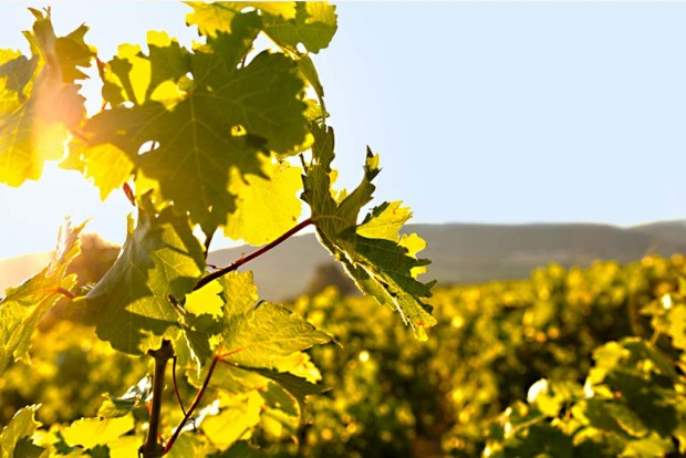 vignes-ferme-des-roumanes